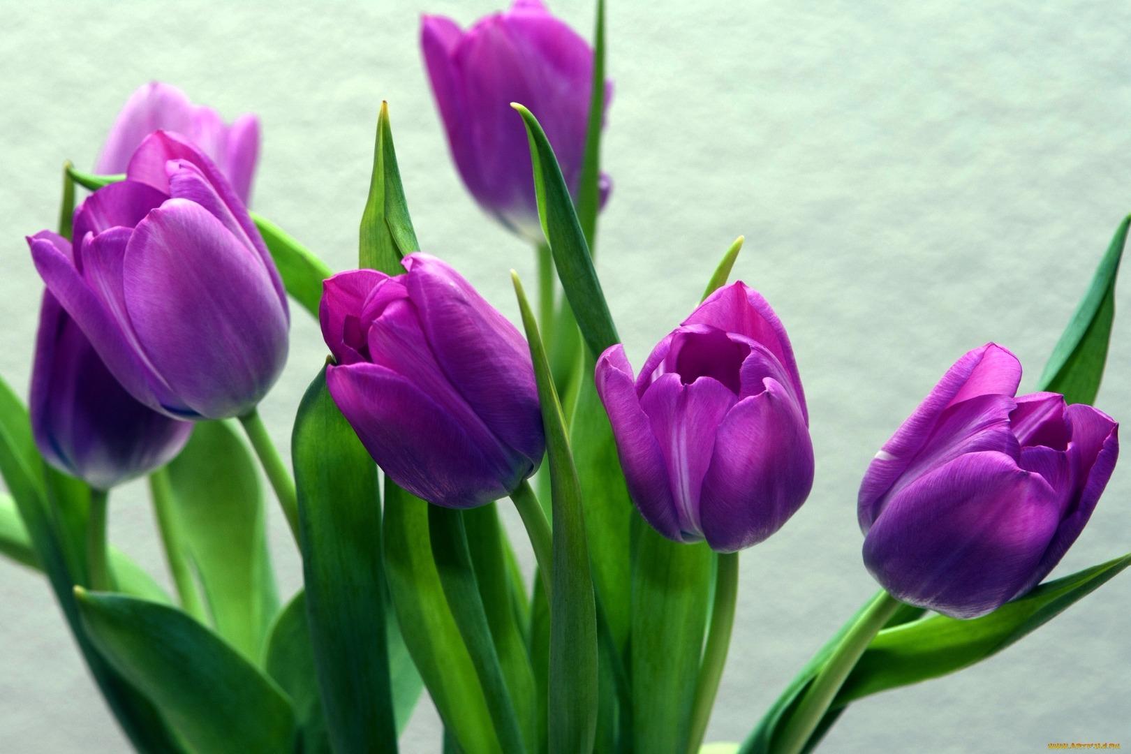 тюльпаны сиреневые фотообои красавица утверждает