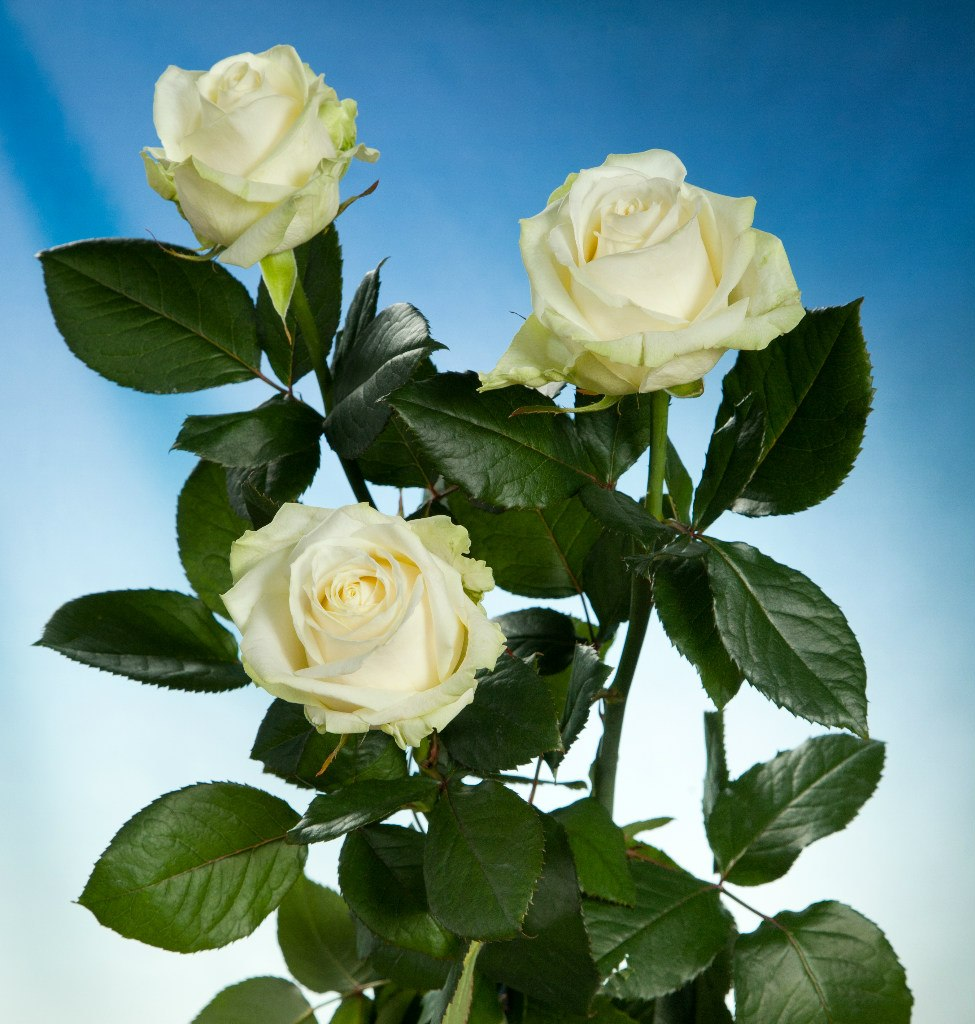 роза аваланж фото какой степени человечество
